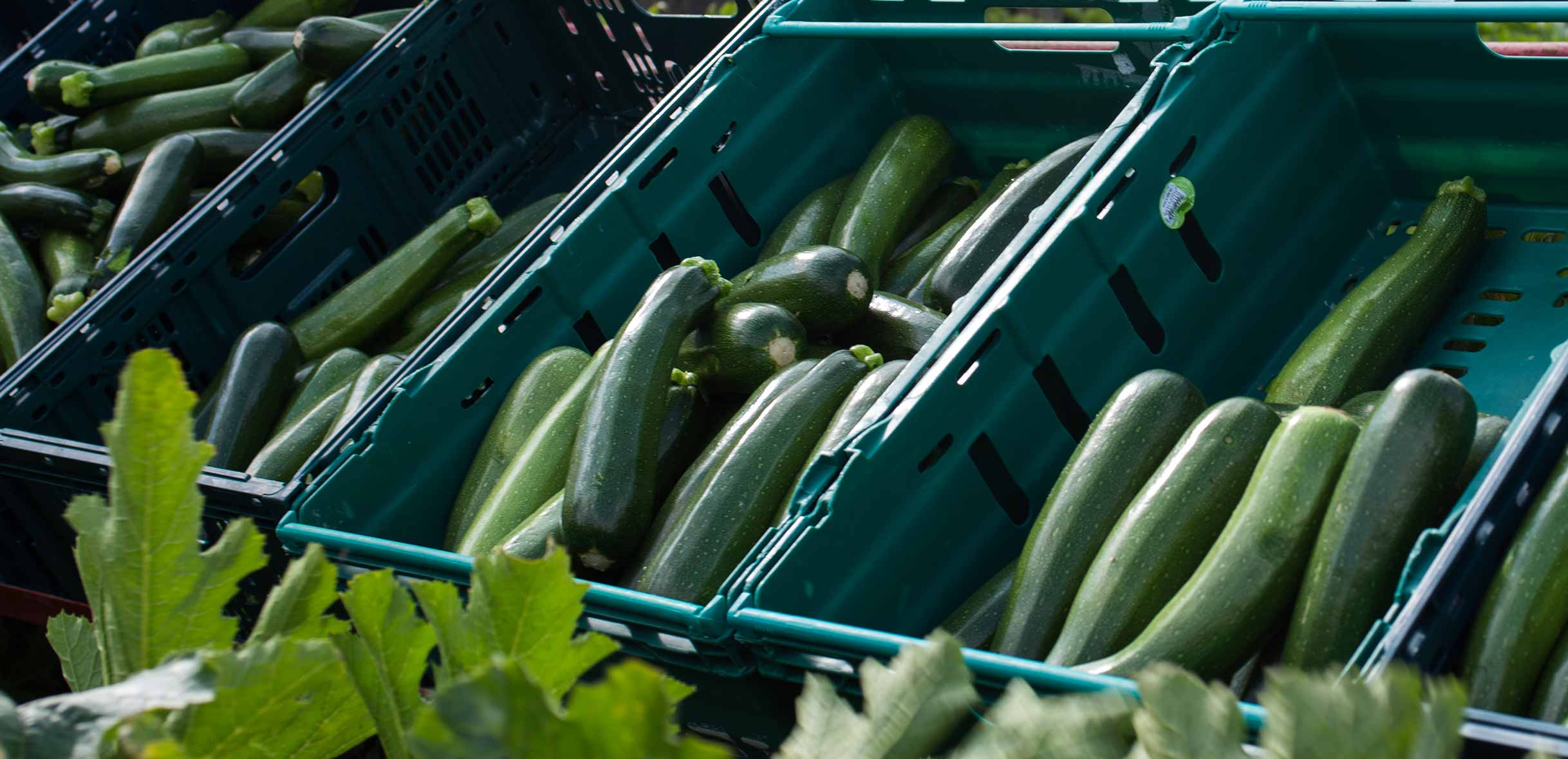 Photography of courgettebeing graded and trimmed by Barfoots España in Almeria