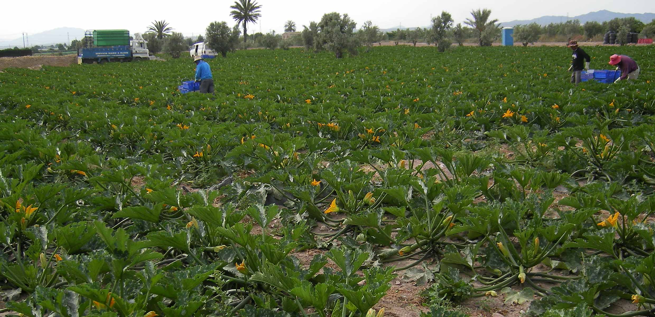 Photography of courgettes being harvested by hand by Barfoots España in Almeria