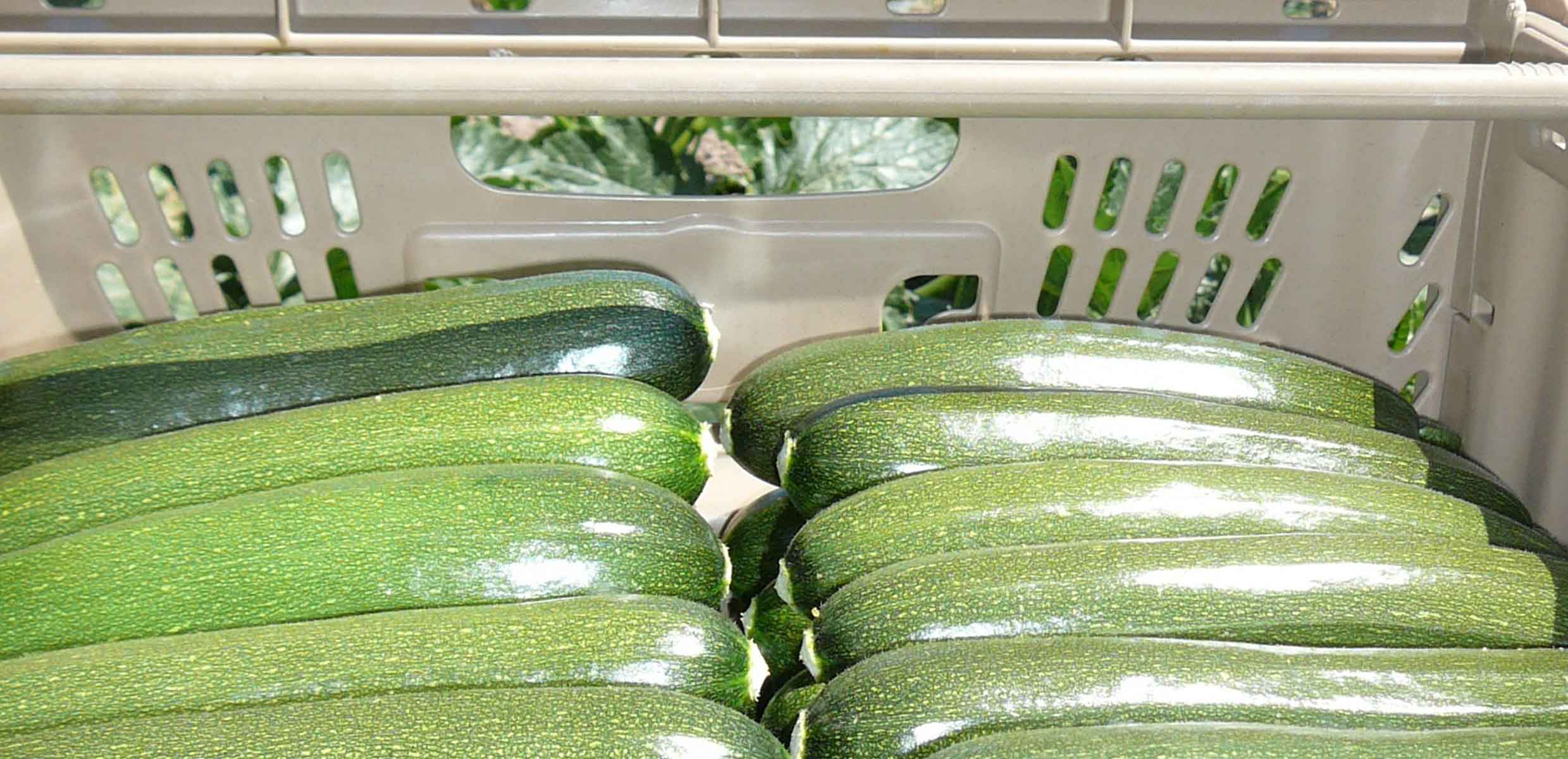 Photography of courgette in transport crates ready to be sent to the UK by Barfoots España