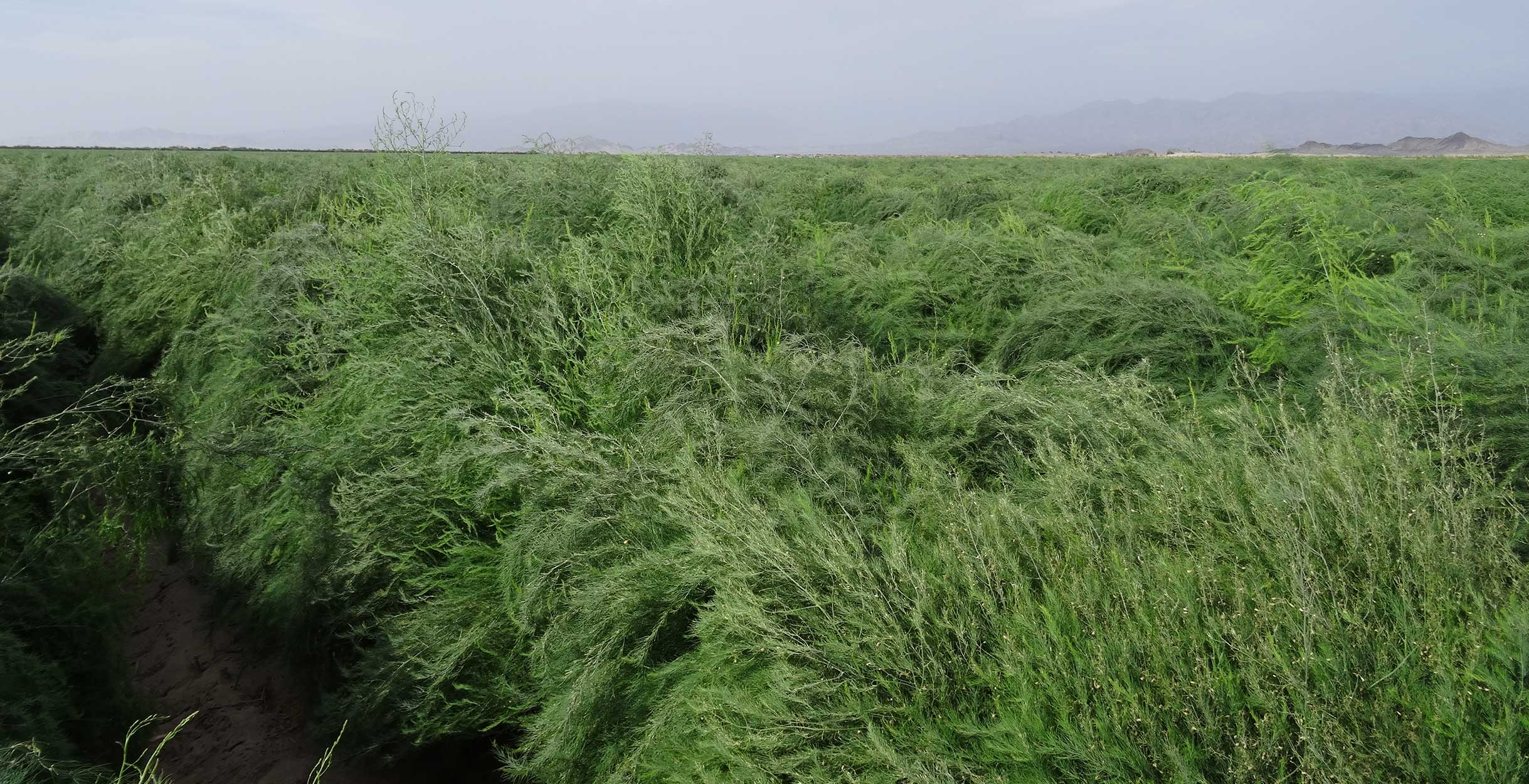 Photograph of a field of Asparagus growing on the Barfoots Nazca farm in Peru