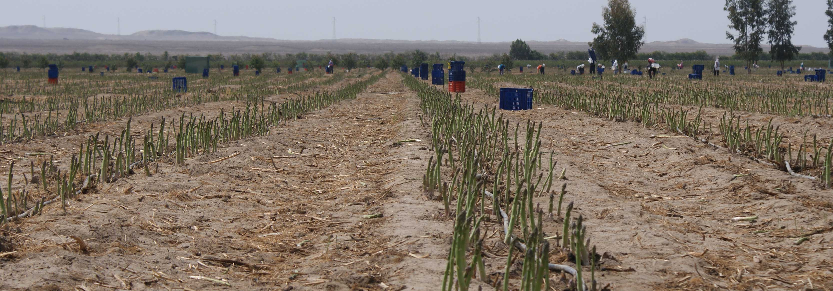 Photograph of Asparagus growing on the Barfoots Nazca farm in Peru