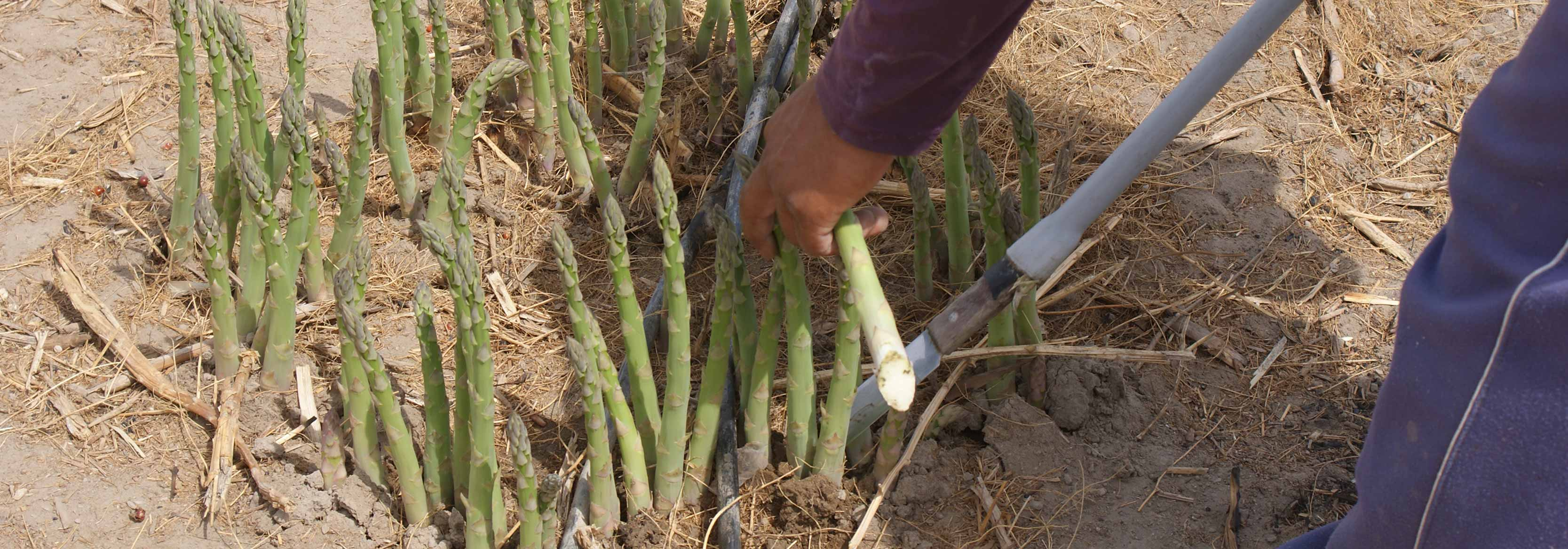 Photograph of Asparagus being harvested on the Barfoots Nazca farm in Peru
