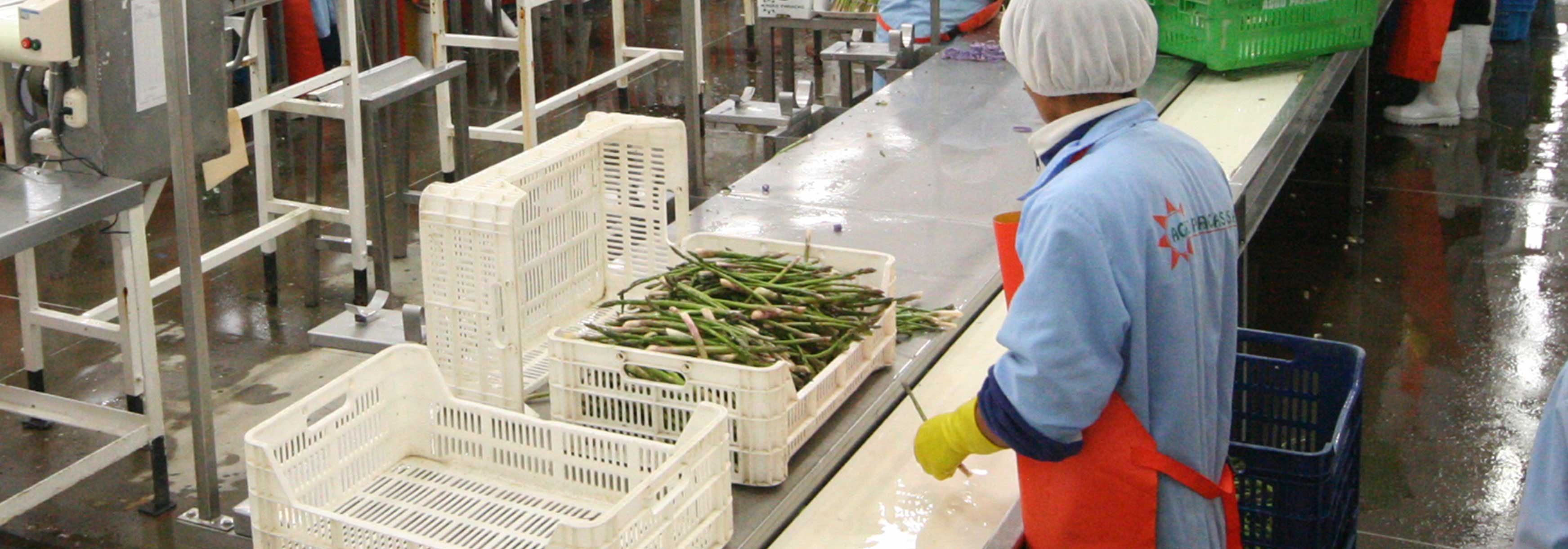 Photograph of Asparagus being manufactured at the Barfoots Nazca farm in Peru