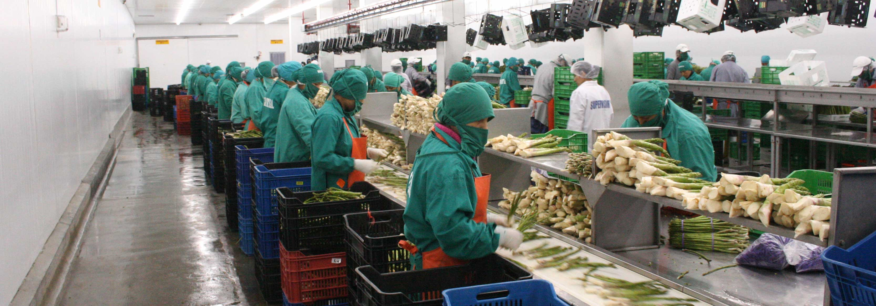 Photograph of Asparagus being processed at the Barfoots Nazca farm in Peru