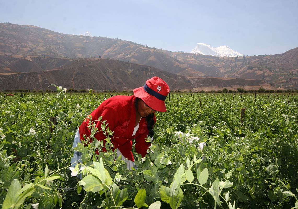 Photograph of a Peruvian farmer harvesting Sugarsnap Peas on the Barfoots Nazca farm, Peru