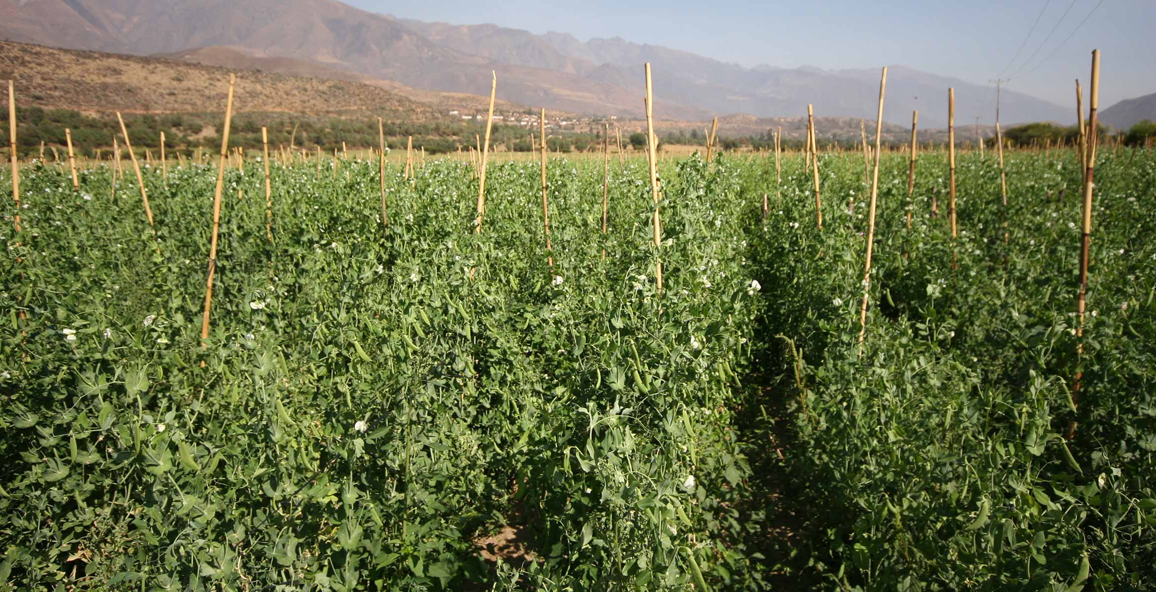 Photograph of legume plants growning on the Barfoots Nazca farm in Peru