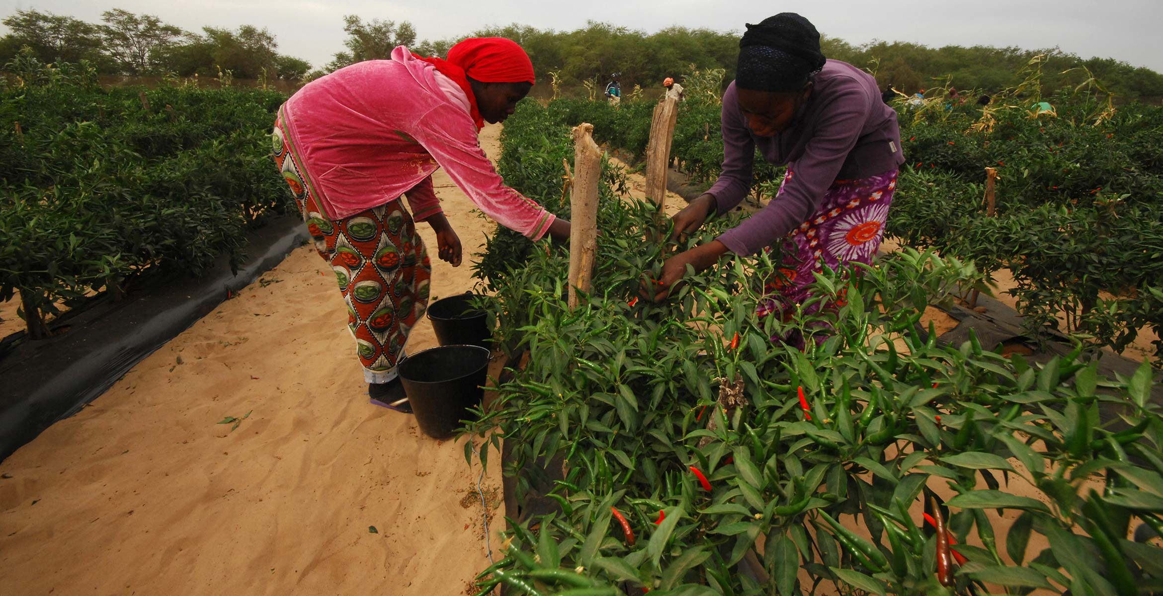 Photograph of Chilli plants growing on the Barfoots Senegal farm SCL