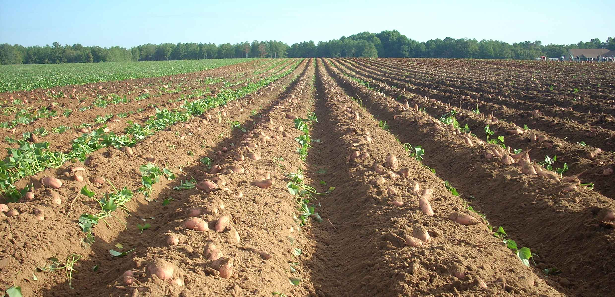 Photograph of Sweet Potato growing in the perfect climate of Barfoots SCL farm in Senegal
