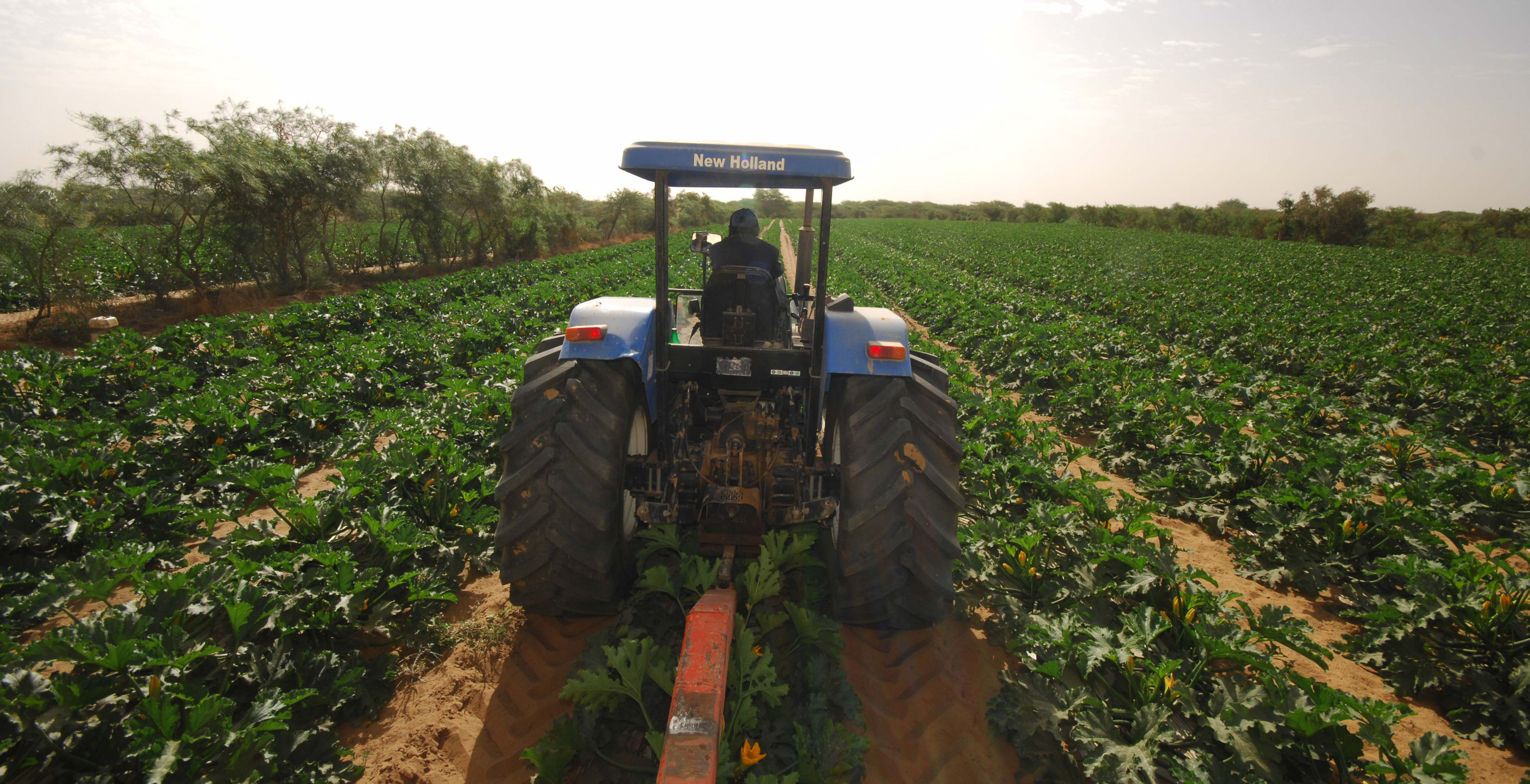 Photograph of Courgette plants growing on the Barfoots Senegal farm SCL