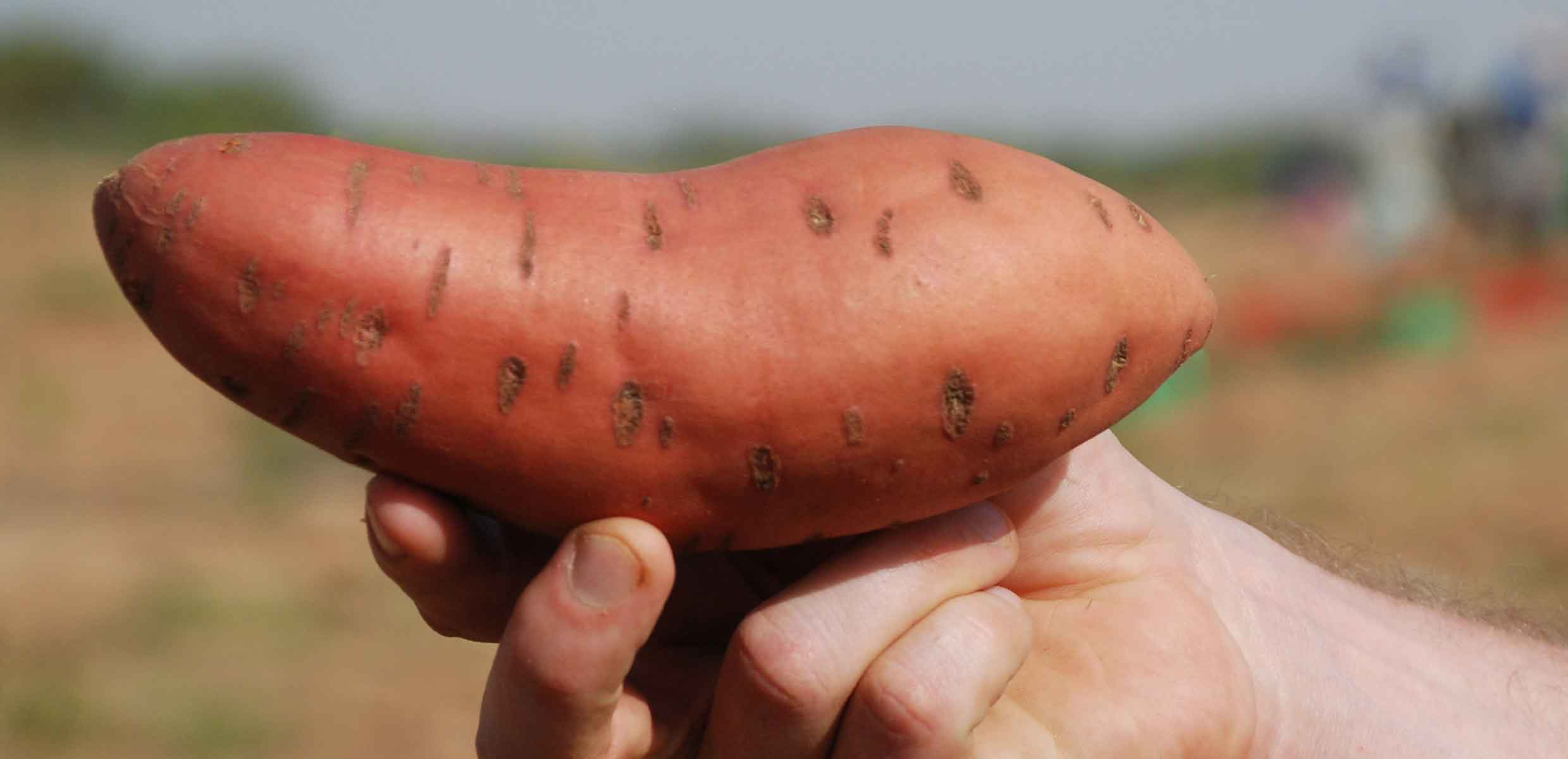 Photograph of Sweet Potatoes cured on the Barfoots SCL farm in Senegal