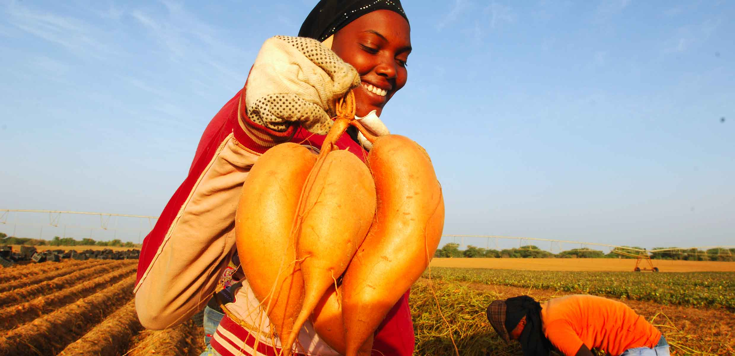 Photograph of Sweet Potatoes being harvested by hand on the Barfoots SCL farm in Senegal