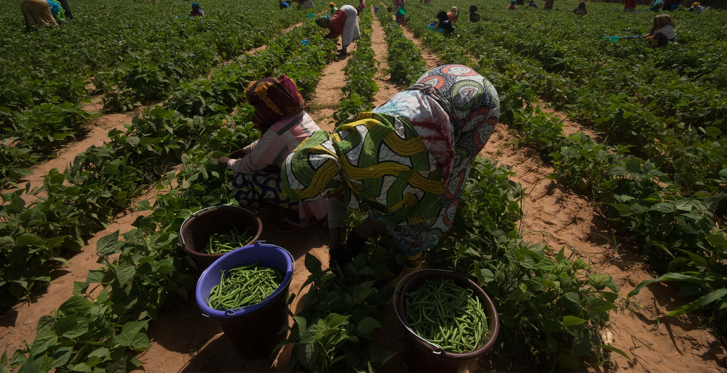 Photograph of Haricot Bean plants growing on the Barfoots Senegal farm SCL