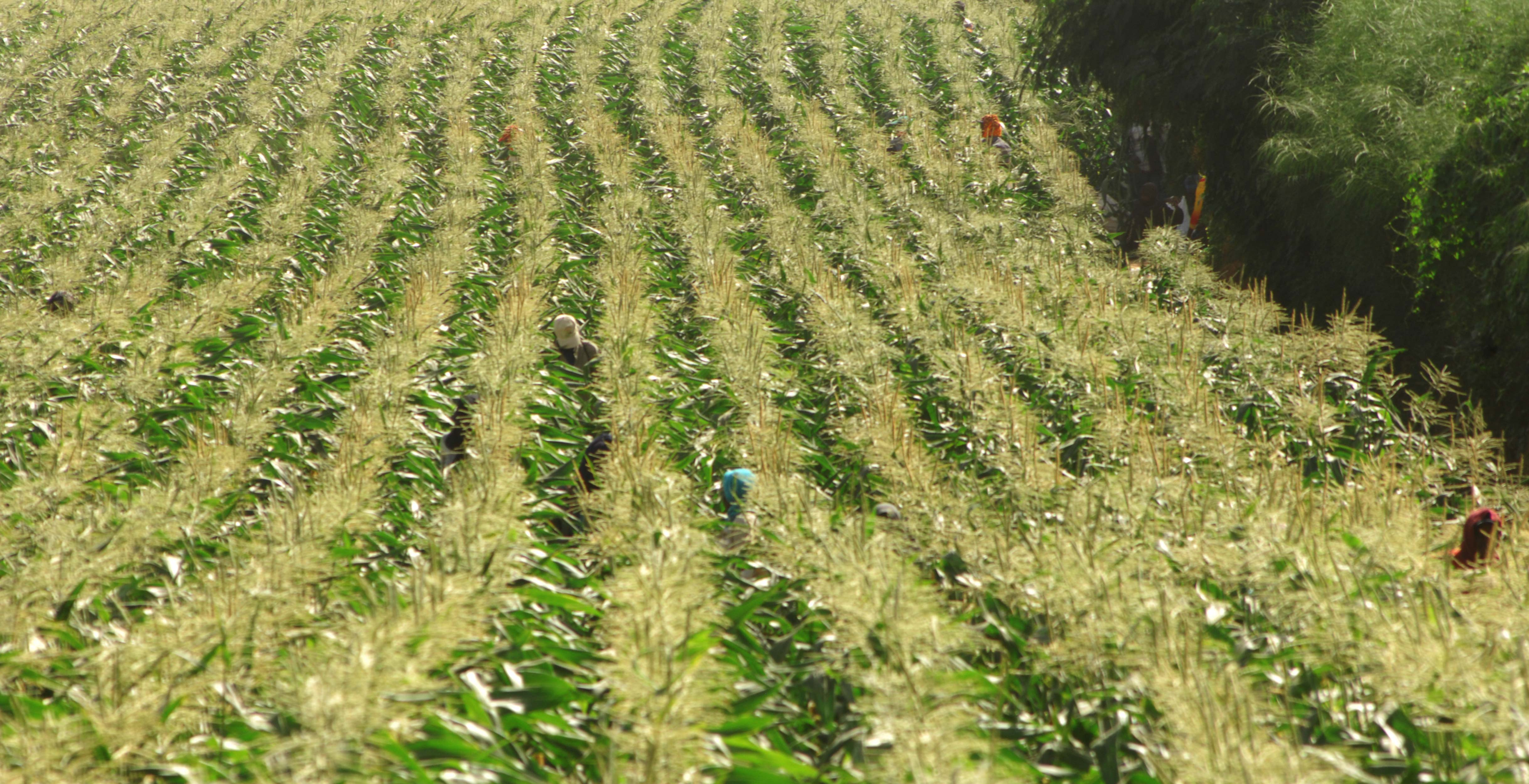 Photograph of Sweetcorn plants growing on the Barfoots Senegal farm SCL