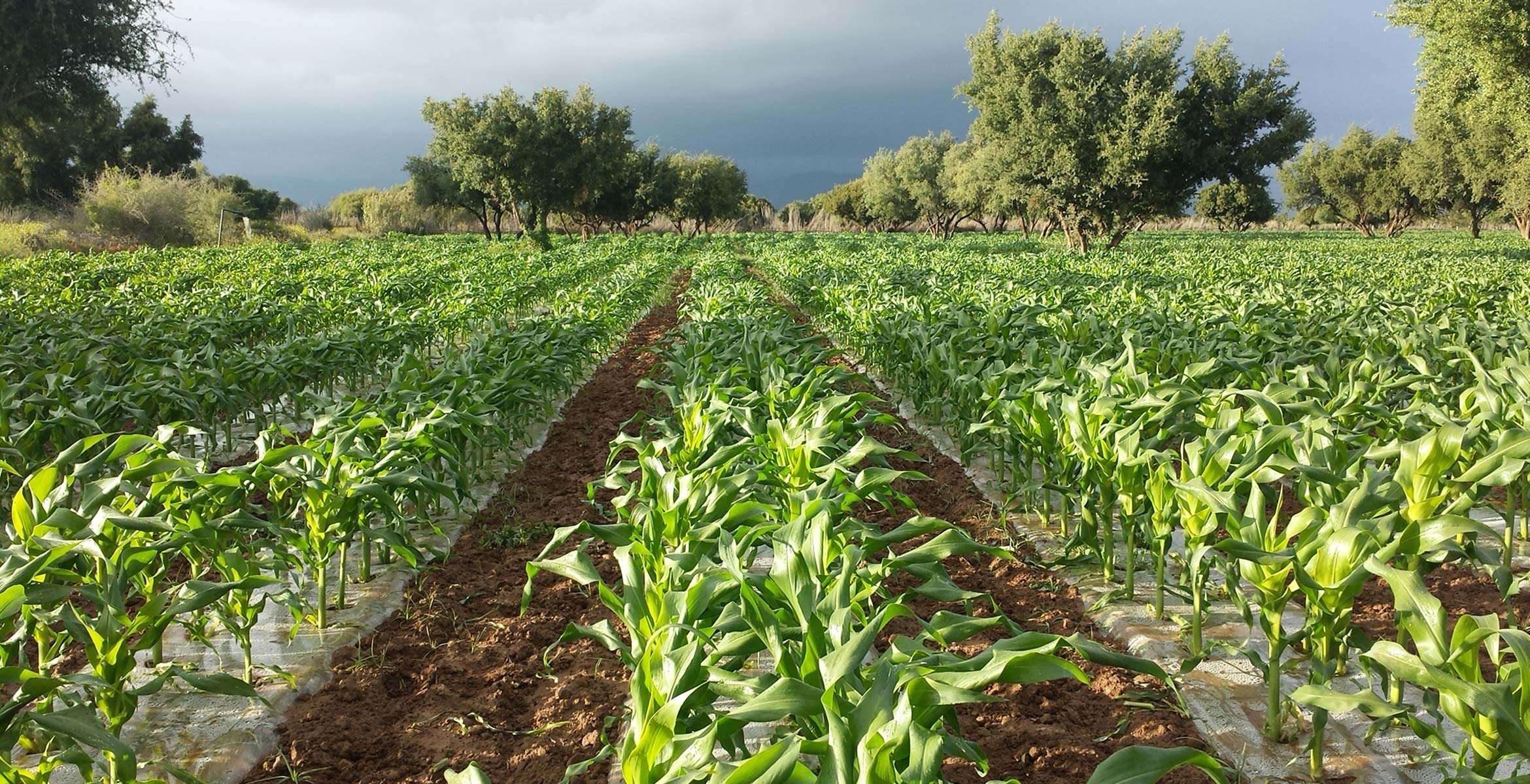 Photograph of your Sweetcorn plants grown by Barfoots España