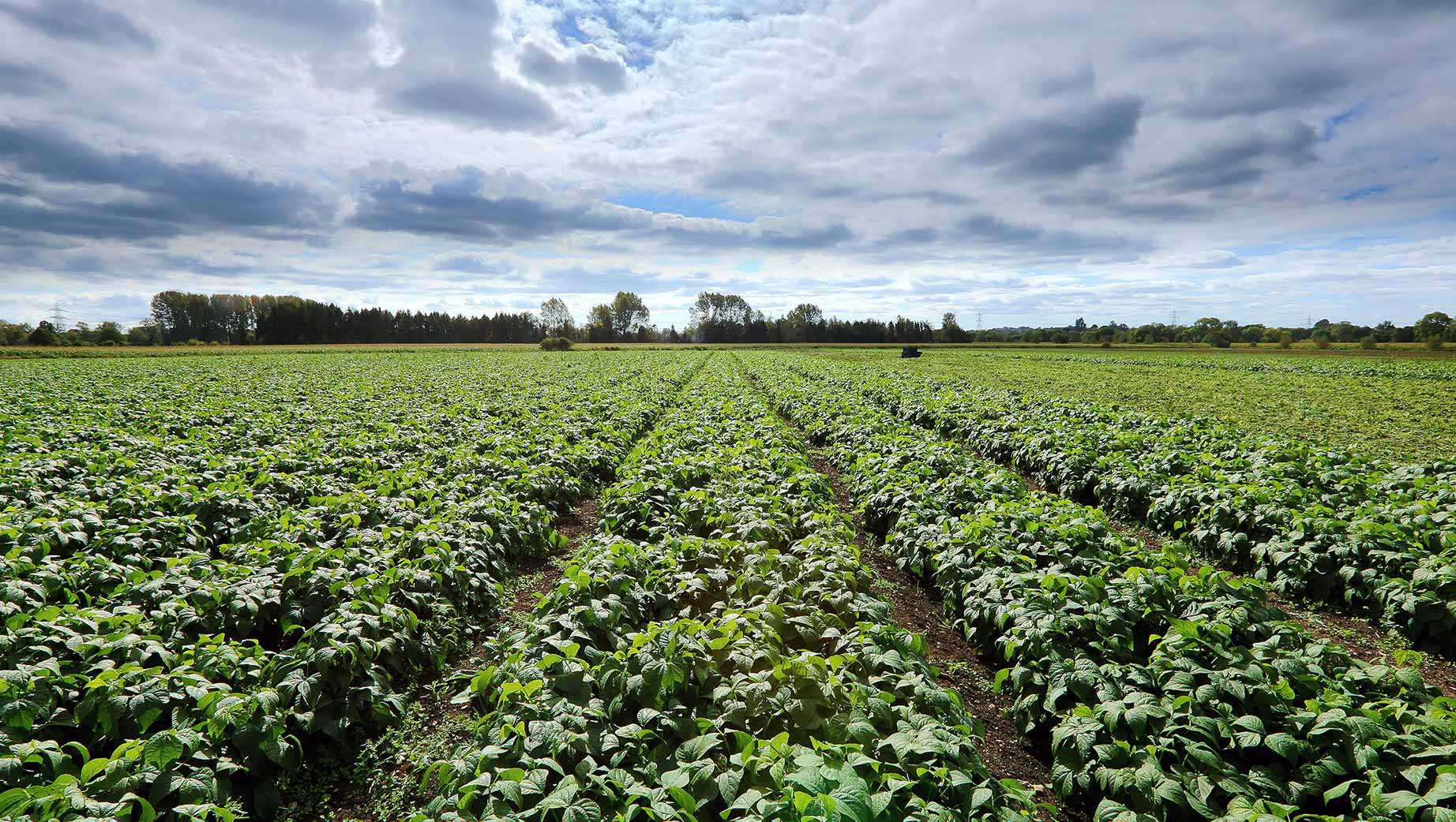 Photograph of green beans growing on the Barfoots UK farm