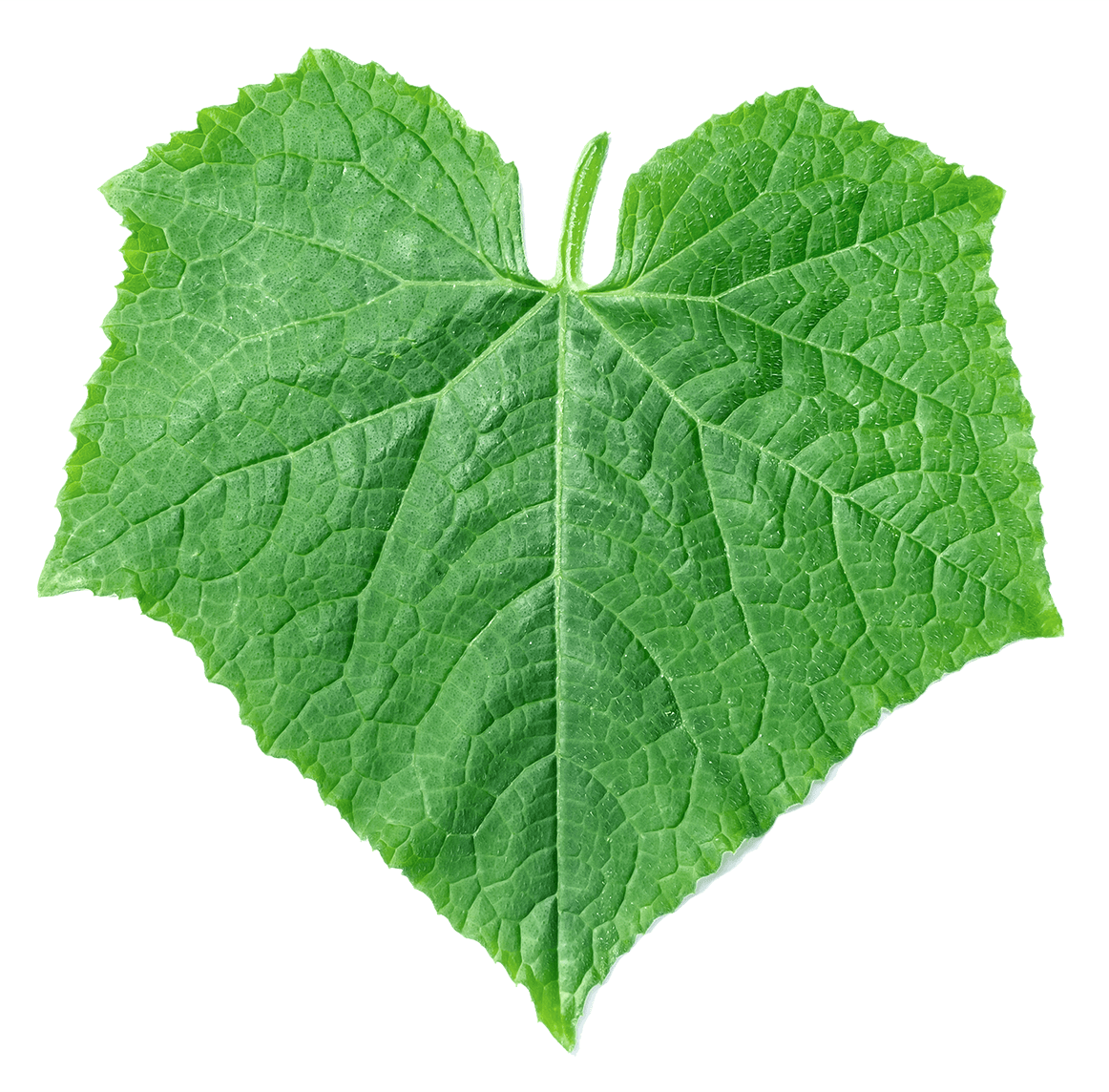 Image of a green pumpkin leaf