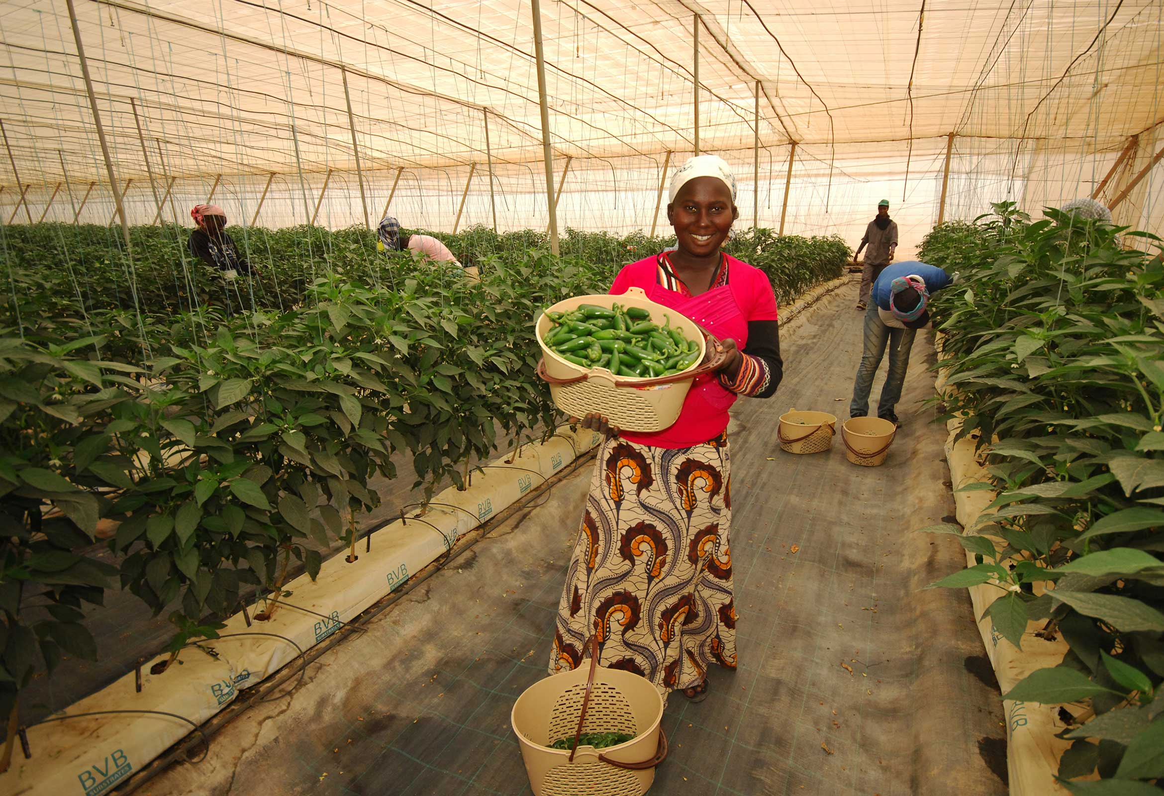 Photograph of a Senegalese woman harvesting chillies on the Barfoots SCL farm in Senegal